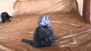 Шотландские котята... Скоттиш-Фолд