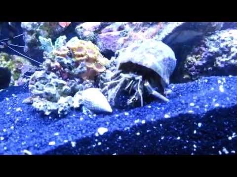 "Blue Hermit Vs Nassarius Snail "" Reef Battle """
