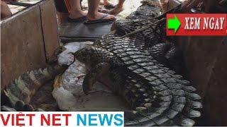 Cá sấu cụ bị tóm sống tại đầm ngoại thành Hà Nội, dân chài hoang mang không dám lội nước kiếm ăn