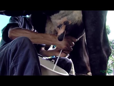 Traditional Farmers; Families who live from milking cows - TvAgro by Juan Gonzalo Angel