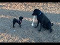Little dog wants to make friends with large Labrador...but also kind of timid