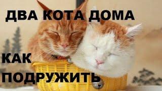 Два кота дома Как подружить