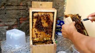 coletando mel de abelha jatai