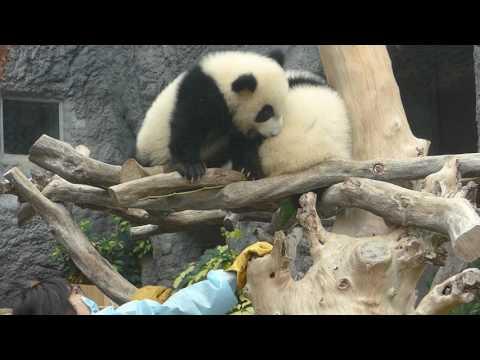 澳門大熊貓兄弟 Macau's Giant Panda twins brothers (10-02-2017)