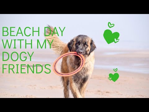 Leonberger, giant schnauzer ,  playing at druridge bay beach #animal #dog #leonberger
