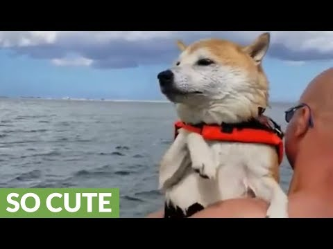 Shiba Inu air swims when held above water