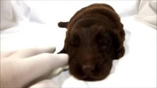 フラットコーテッドレトリーバー専門店 http://aidol-doggy.com/frat/ ...
