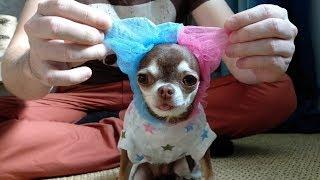Чихуахуа и тёплый комбинезон с капюшоном. Одежда для собак