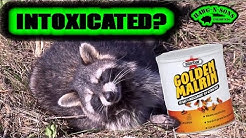 INTOXICATED Raccoon or Golden Malrin Fly Bait and Soda