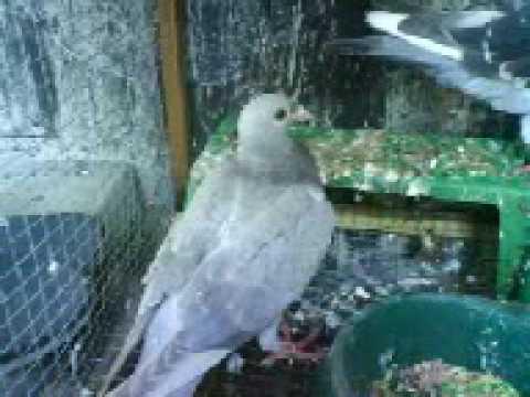 Pigeon And Yani