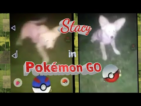 Adventures with Stacy Husky Corgi Puppy Let%27s Play Pokemon GO Augmented Reality Funny