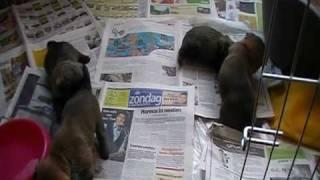 Cairn Terrier Puppies - 3 Weeks Old