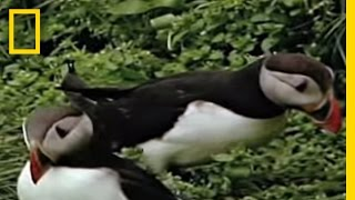 Puffins   National Geographic