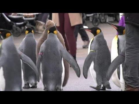 doesn-t-get-any-cuter-calgary-penguin-walk-turns-heads