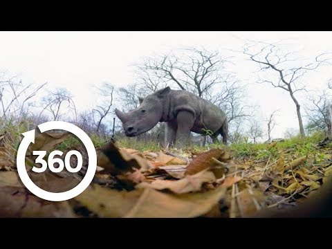 Rescuing Rhinos | Racing Extinction (360 Video)
