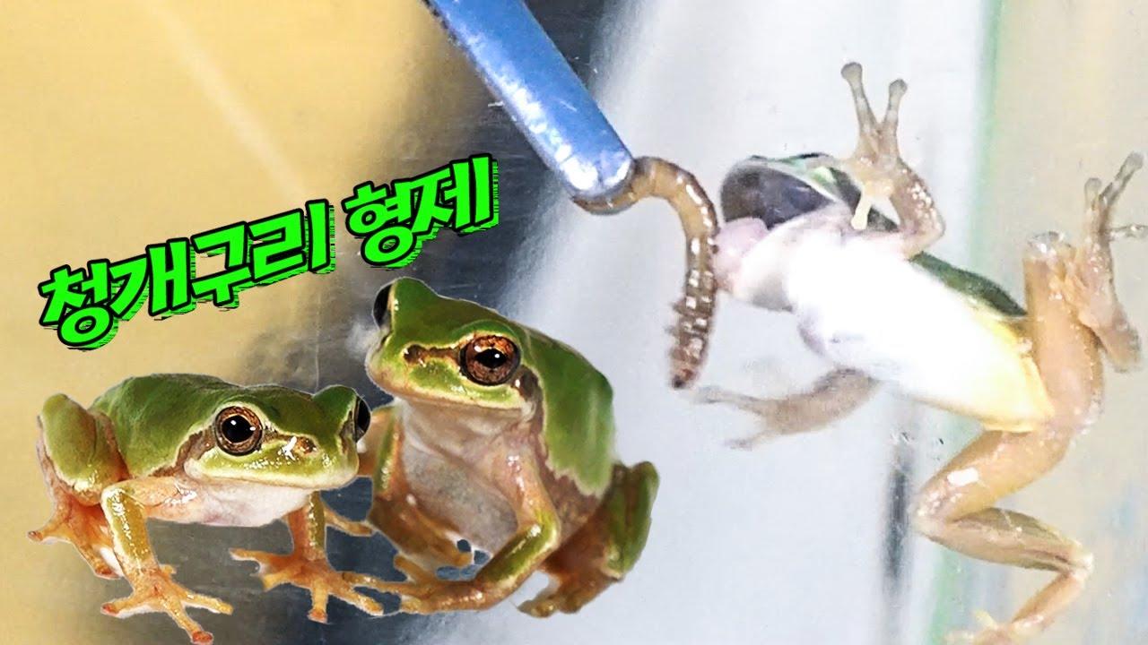 그만 먹어! 청개구리의 무서운 식성...