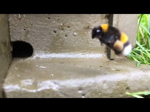 Die Erdhummel( Bombus terrestris / Bumble Bee ) der Film 2018