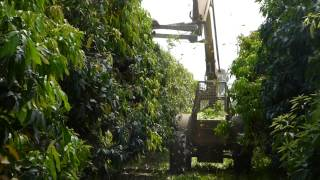 Mango Pruning Technologies,  Israel – August 2015
