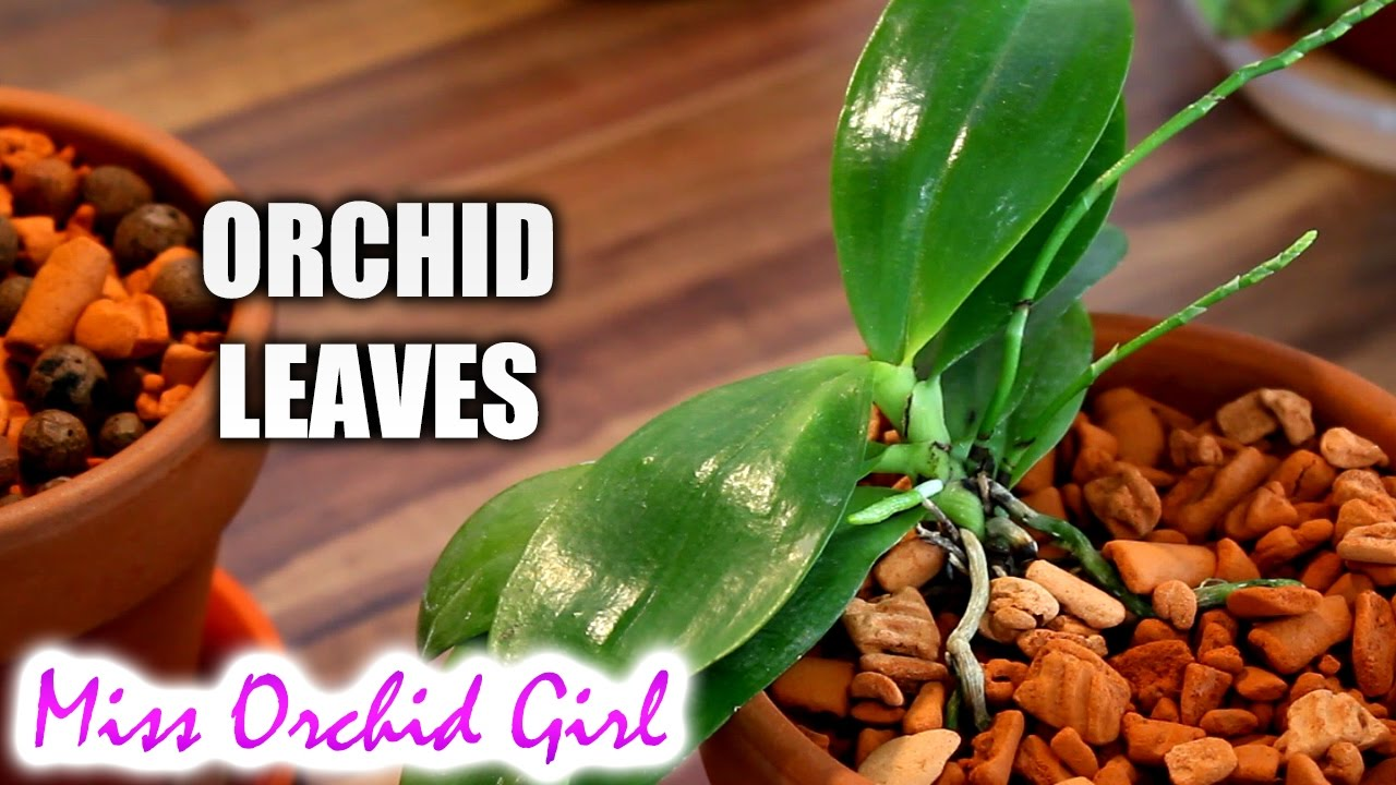Orchid Leaves Purpose Functions And Features Youtube