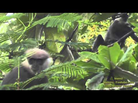 Toque Macaque, Purple faced leaf Monkey & Gray Langur