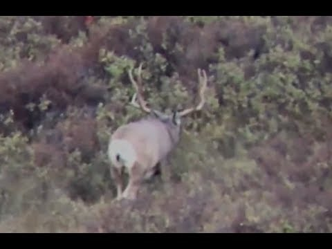 Spot And Stalk Muledeer- Bowhunt With Recurve Bow