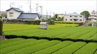 お茶の牧農園 乗用茶摘み機のお茶刈り風景