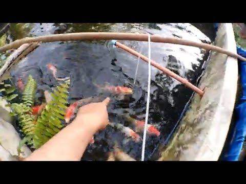 Awesome butterfly kohaku koi fish update