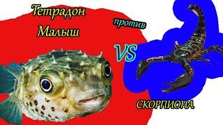 Шок!!! Тетрадон против Скорпиона  Хищная рыба ест все! Змею, сколопендру, краба.