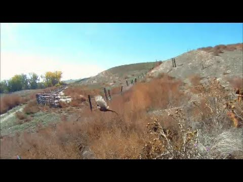 2013 2014 Slow Motion Idaho Pheasant Season Re Cap