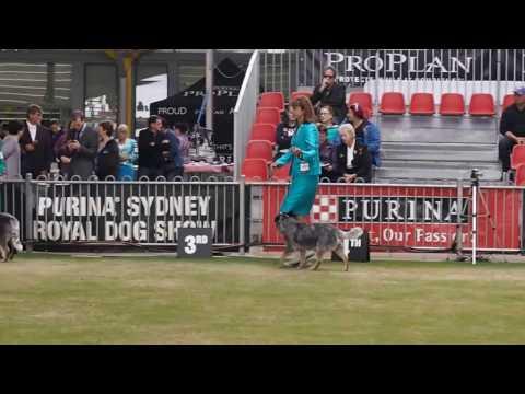 Royal Easter Show 2017 Australian Cattle Dogs