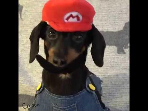 Crusoe Dachshund Plays Super Mario Odyssey