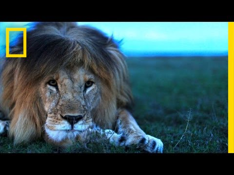 Lion Facts For Kids - All About Lions - Kidz Feed