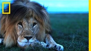Understanding The Lives Of Lions | National Geographic