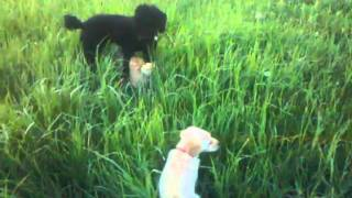 Cute Dogs Playing Golden Retriever Standard Poodle Cairn Terrier