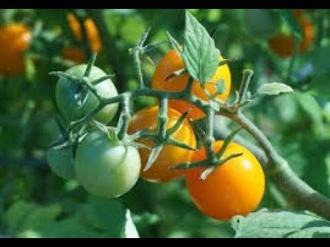 How to control Disease in Tomato cultivation kannada