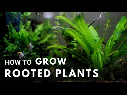 How to Grow Rooted Aquarium Plants