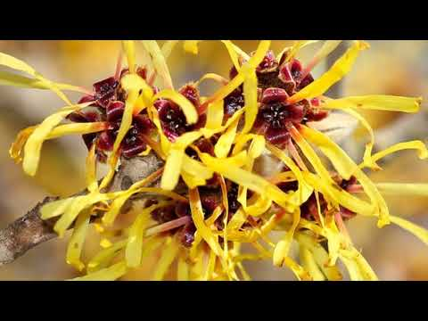 Wonderful Ingredients To Treat Wounds At Home Are Witch Hazel And Juniper Leaves And Berries