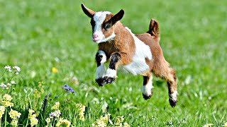 CUTE BABY GOATS JUMPING AND RUNNING!!!
