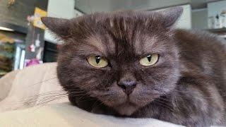 Шотландская кошка УЧИТ котенка защищаться Scottish cat kitten TEACHES defend