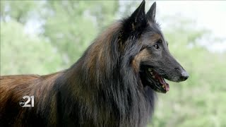 21Country: Belgian Tervuren, handler prepare for Westminster Dog Show with COVID19 precautions