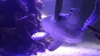 Как Плавает Белая Черепаха