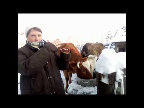 Как узнать вес коровы без весов.