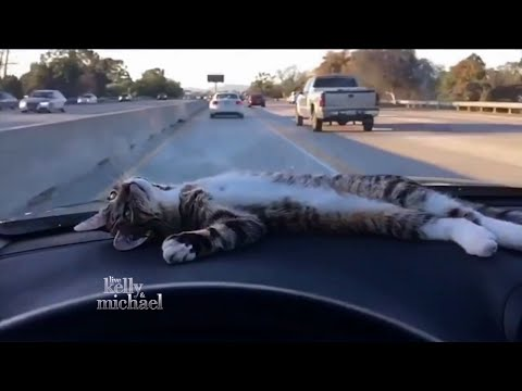 Rory the Dashboard Cat