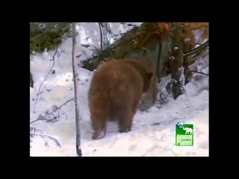 Orden alfabetico sobresalir identificación  Oso Grizzly vs Puma (Videos Asombrosos) - YouTube