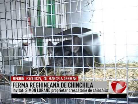 FERMA REGHINEANĂ DE CHINCHILA(2015 01 25)