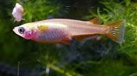 Teichfische regenbogenelritzen zierfischzucht und handel for Gartenteichfische liste