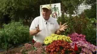 Planting Fall Blooming Perennials Mums and Sedum & Planting Grass in the Fall