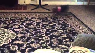 Miniature Schnauzer And Toy Yorkshire Terrier Playing