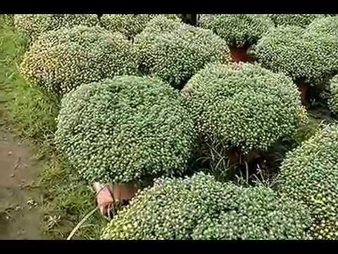 Cúc mâm xôi chậu nhựa 90.000đ/cây hoa đều