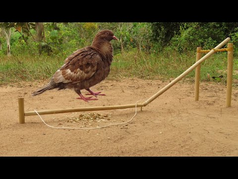 Easy Bird Trap Technology - The First Creative Pigeon Trap Build From Wood & Rubber
